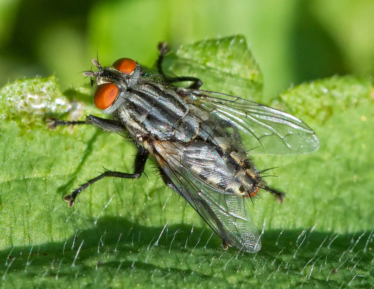 Flesh fly (family Sarcophagidae). Not an especially good image, but we can use it for 4-H entomology.