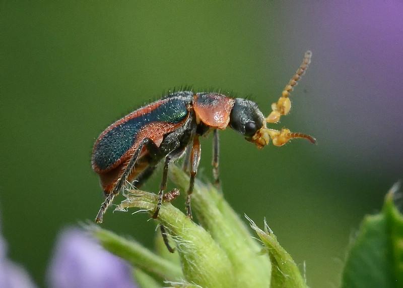 Male Collops beetle.