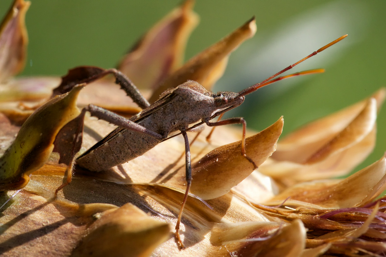Leaf-footed bug, probably genus Leptoglossus, on artichoke, 2014