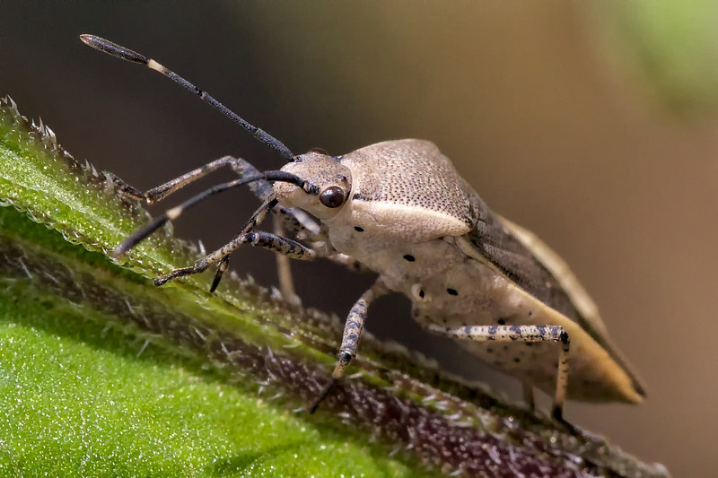 A bug in the family Coreidae, probably Catorhintha texana. The straw-like mouthpart is visible behind the front leg. 2013.