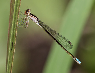 Black fronted Forktail, Ischnura denticollis