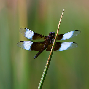 Libellula luctuosa, the widow skimmer