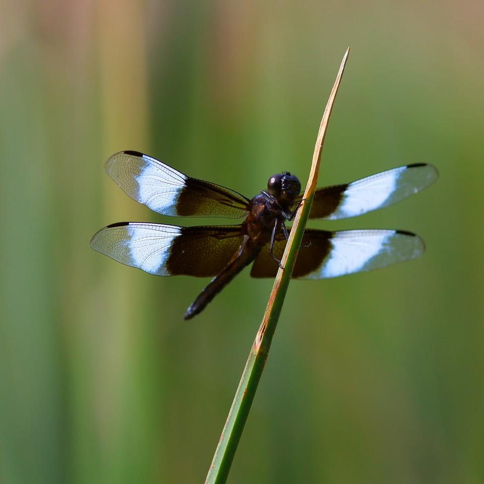 Libellula luctuosa, the widow skimmer