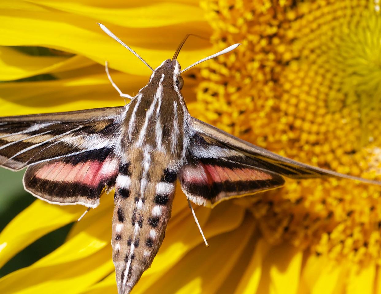Whitelined sphinx moth in flight