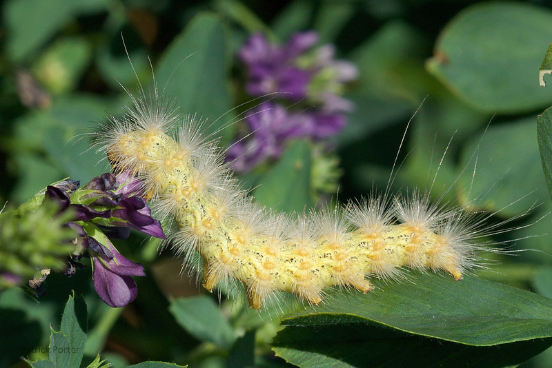Yellow woollybear caterpillar (Spilosoma virginica) eating alfalfa.