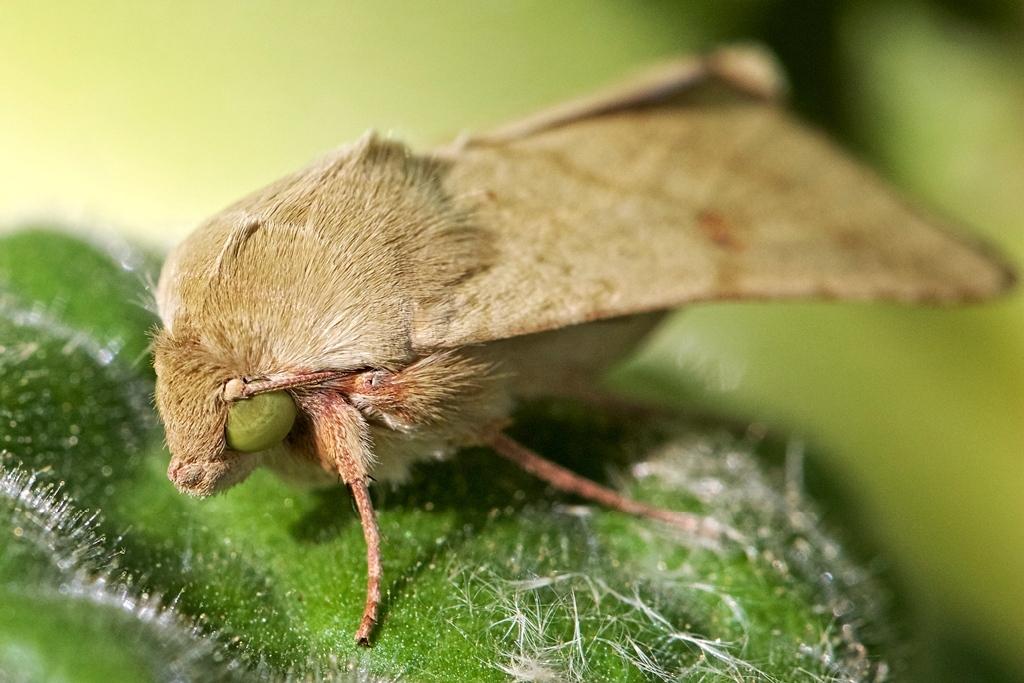 Helicoverpa zea (corn earworm) moth 2016