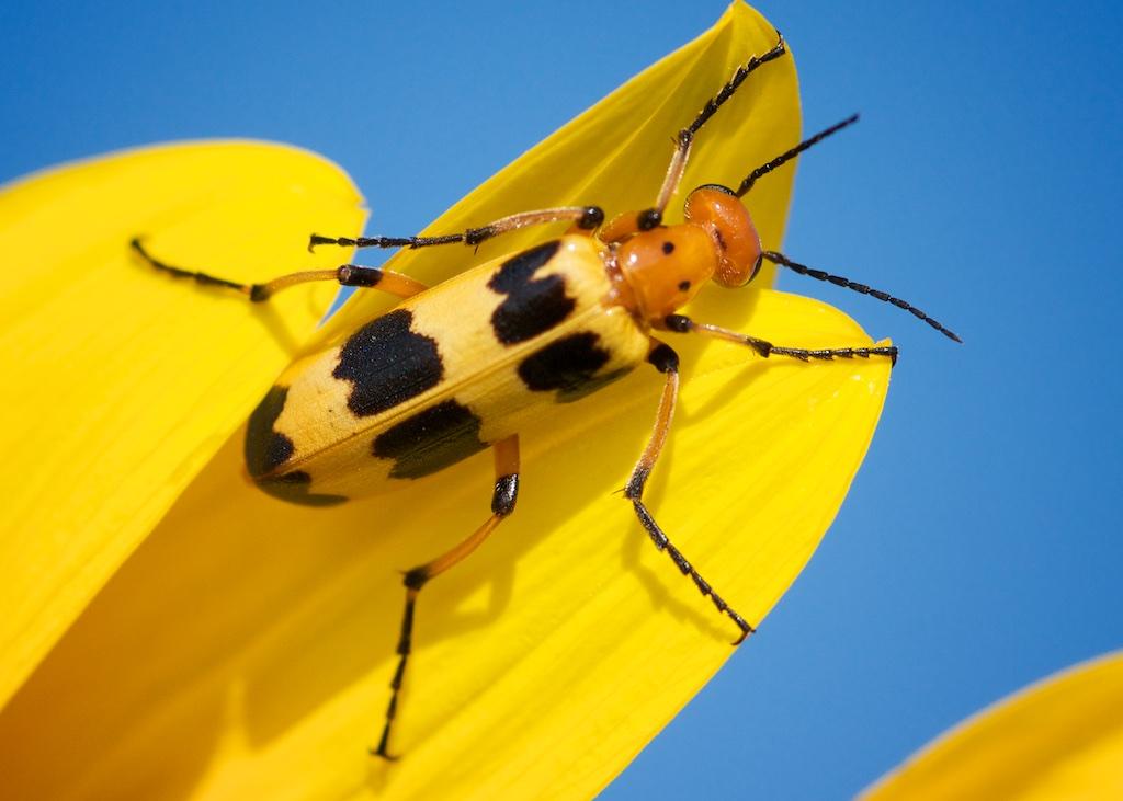 blister beetle genus Pyrota