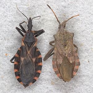 Kissing bug (left) and Mozena obtusa