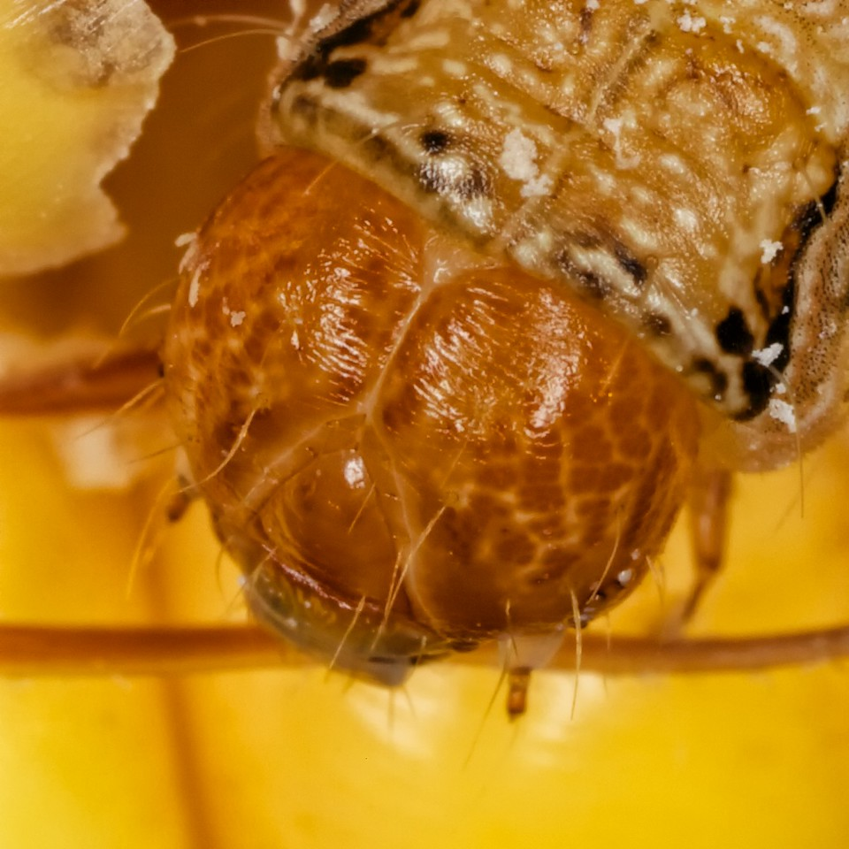 Helicoverpa zea (corn earworm) head and sutures