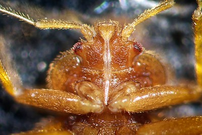 Bed bug mouthparts.