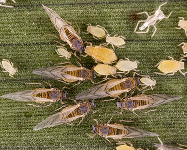 sugarcane aphid winged  and non-winged adults and nymphs.