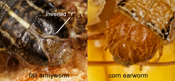 head capsule comparison of fall armyworm and corn earworm (cotton bollworm)