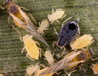 sugarcane aphid parasitized by Aphelinus wasp