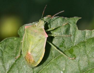 red shouldered stink bug