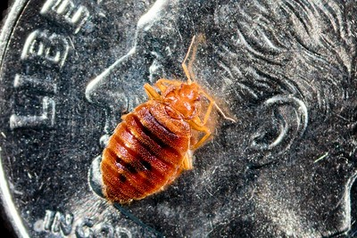 Bed bug on a dime.