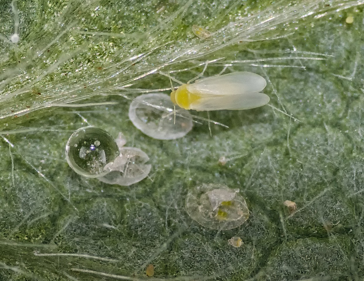 whitefly on cotton