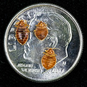 Bed bugs on a dime - for sense of size.