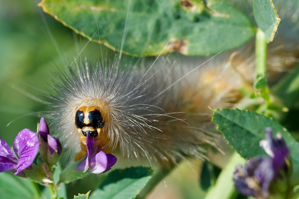 yellow woolybear eat alfalfa