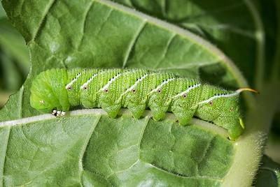 Tomato hornworm larva 2016