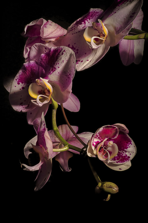 Orchid 524