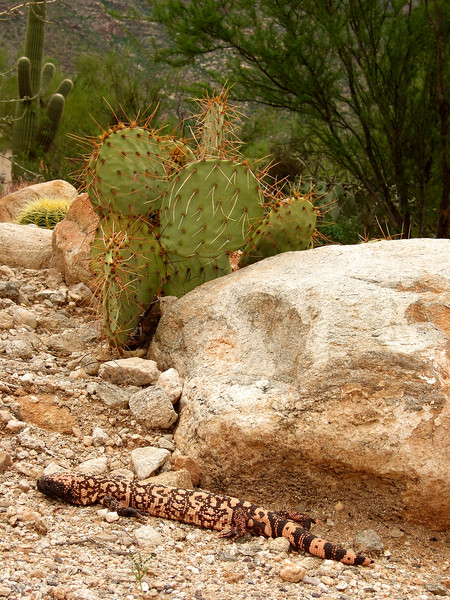 A gila monster wanders through a neighbor's yard.