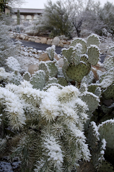 Cacti in snow