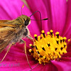 Cosmos with Moth