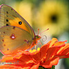 Butterfly on Zinia