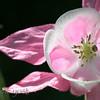 Columbine Pink White