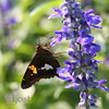 Butterfly Salvia 2