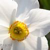 Daffodil Cup 2