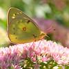 Butterfly on Sedum 3