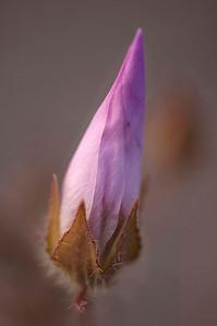Desert Five-Spot bud
