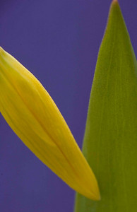 Glacier Lily 1