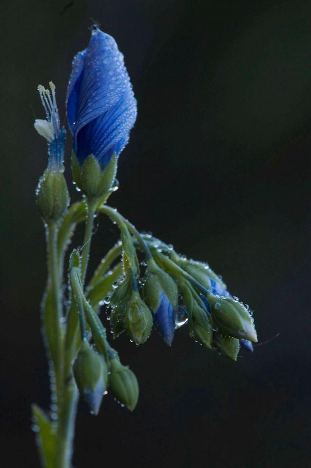 Flax in bud