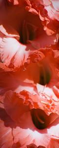 Glad for gladiolas - The Oregon Garden
