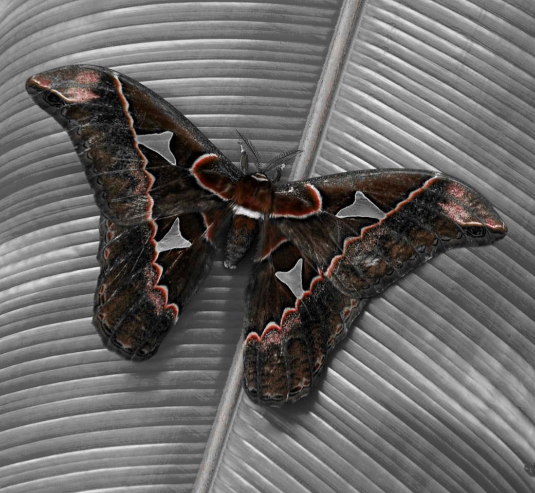 Owl Butterfly (Caligo eurilochus)<br /> Bosque de Paz Reserva Biologica