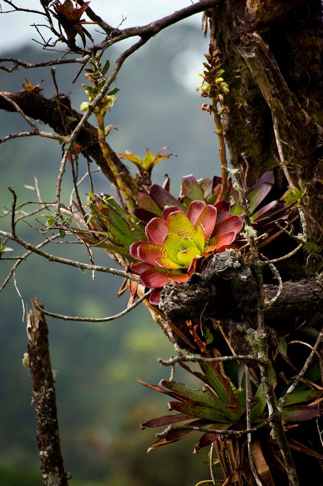 Bromeliads<br /> Road from Volcán Poás to Bosque de Paz Reserva Biologica
