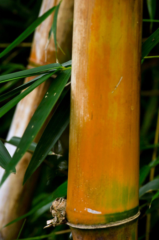 Red bamboo, Hotel Bougianvillea, San Jose