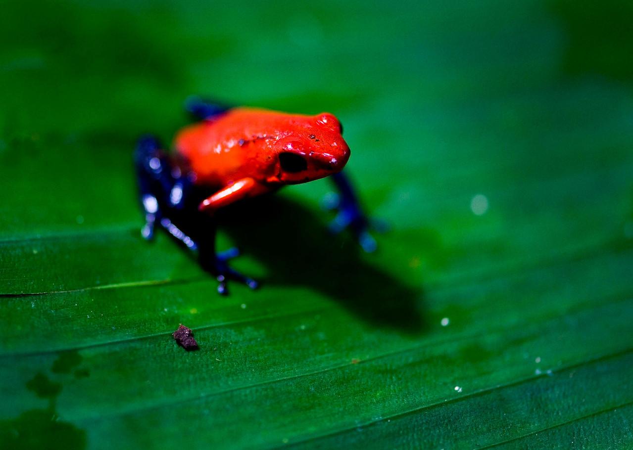 Poison Dart frog, AKA Bluejean frog; Arenal Hanging Bridges