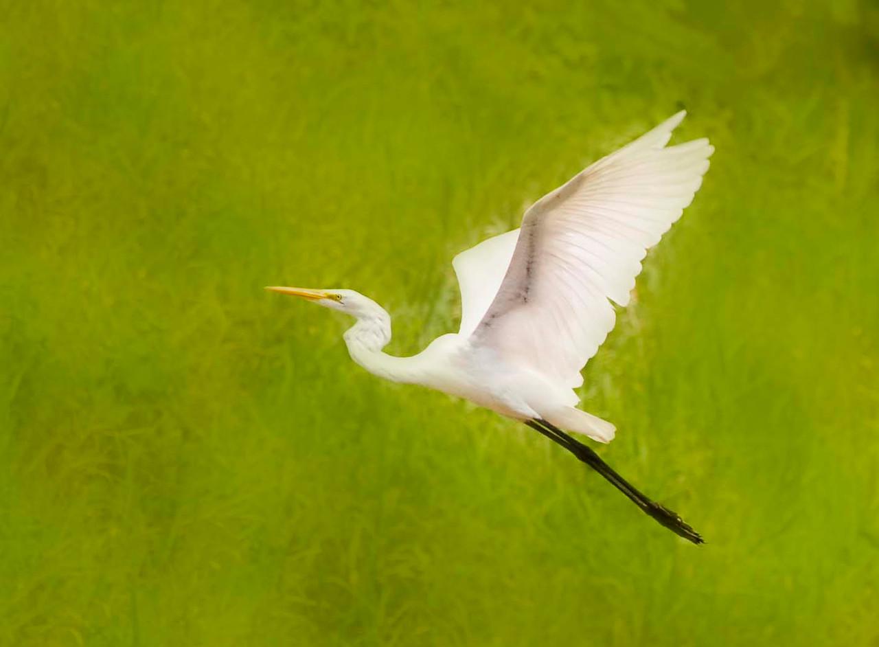 Egret, Lake Arenal