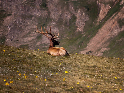 As well, another old man allowed himself to be admired and photographed - the classic bull elk, thoroughly enjoying a breakfast view.  He stayed in this position for a couple of hours - allowed me to circle him completely and enjoy the view from all angles.