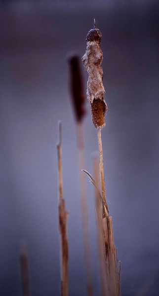 Cattails waiting for spring