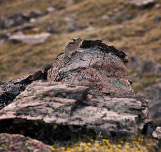 Pika delight - love these little critters; it's not often they stand still long enough for a shot.