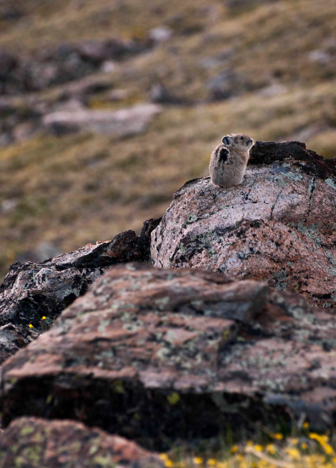 More Pika delight.  See the fur moving?  Wind was definitely in an uproar!