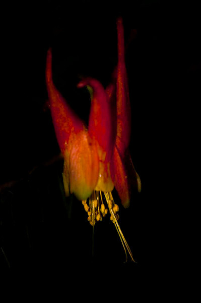 Lower Cataract Lake with Click!, John Fielder<br /> <br /> Western Red Columbine (Aquilegia elegantula)