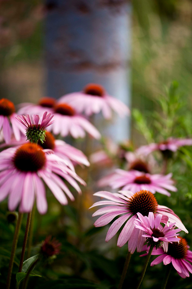 Echinacea.  Love the depth of field on this one.