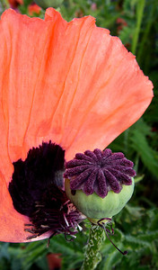 Poppy, shedding its beautiful petals.