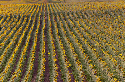 sunflower field, abstracted  I love the texture between the rows - amazing