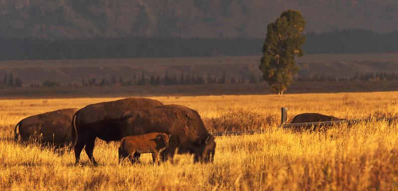 Bison at the Mormon Barns